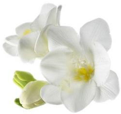 Фризии любимый цветок Учителя Мории